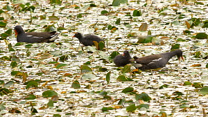 Pair of Moorhens (Gallinula chloropus) feeding chicks in a pond covered with Water smartweed (Persicaria amphibia), Ceredigion, Wales, UK. July.  -  Dave Bevan