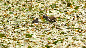 Moorhen (Gallinula chloropus) feeding chick in a pond covered with Water smartweed (Persicaria amphibia), Ceredigion, Wales, UK. July.  -  Dave Bevan