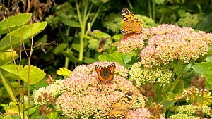 Painted lady (Vanessa cardui) and Small tortoiseshell (Aglais urticae) nectaring on Sedum (Sedum), Carmarthenshire, Wales, UK. September. - Dave Bevan