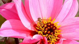 Hoverfly (Syrphus ribesii) nectaring on dahlia flower, Carmarthenshire, Wales, UK. September. - Dave Bevan