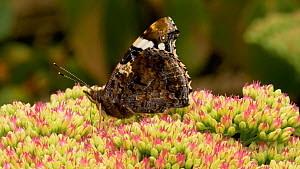 Close-up of a Red admiral (Vanessa atalanta) nectaring on Sedum (Sedum), Carmarthenshire, Wales, UK. September.  -  Dave Bevan