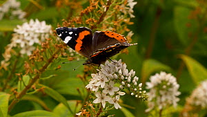 Red admiral (Vanessa atalanta) nectaring on Gooseneck loosestrife (Lysimachia clethroides), Carmarthenshire, Wales, UK. September.  -  Dave Bevan