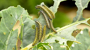Large white (Pieris brassicae) caterpillars eating Broccoli (Brassica oleracea) leaves, with Small white (Pieris rapae) caterpillars, Carmarthenshire, Wales, UK. September. - Dave Bevan