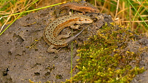 Male Viviparous lizard (Zootoca vivipara) with a partially regrown tail basking on a rock with another juvenile male, before dashing to cover, Pembrokeshire, Wales, UK. September.  -  Dave Bevan