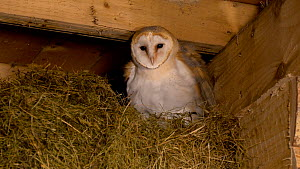 Two juvenile Barn owls (Tyto alba) amongst hay bales adjacent to nest box in a barn, one grooms its foot and ruffles its feathers, Carmarthenshire, Wales, UK. September.  -  Dave Bevan