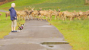 Herd of Pere David's deer (Elaphurus davidianus) crossing a road in a park, watched by a woman with a terrier, Carmarthenshire, Wales, UK. September. Captive.  -  Dave Bevan