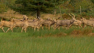 Herd of Pere David's deer (Elaphurus davidianus) running, Carmarthenshire , Wales, UK. September. Captive.  -  Dave Bevan
