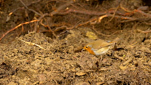 Robin (Erithacus rubecula) catching an Earthworm (Lumbricus terrestris) on freshly dug soil, Carmarthenshire, Wales, UK. September.  -  Dave Bevan