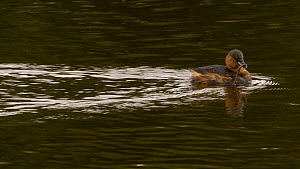Little grebe (Tachybaptus ruficollis) diving and catching a European eel (Anguilla anguilla) elver, Pembrokeshire, Wales, UK. October.  -  Dave Bevan
