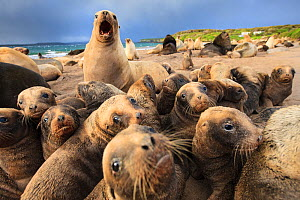 New Zealand sea lion (Phocarctos hookeri) breeding colony at Sandy Bay, Enderby Island, Auckland Islands archipelago, New Zealand. January. - Richard Robinson