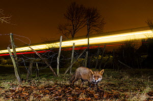 Red fox (Vulpes vulpes) at night with lights from a train. Remote camera image. Kent, UK.  -  Terry  Whittaker