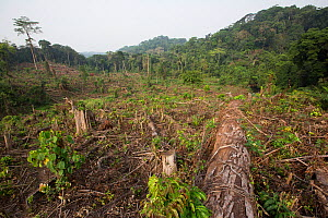 Rainforest which has been clear cut to plant oil palm tree. Nkongsamba area, Cameroon. February 2015.  -  Cyril Ruoso