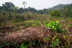 Tropical rainforest cut to plant oil palm tree. Nkongsamba area, Cameroon. February 2015.  -  Cyril Ruoso