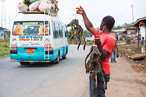 Cameroonian man selling Goliath frog (Conraua goliath) bush meat at roadside, Cameroon, February 2015.  -  Cyril Ruoso