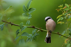 Red-backed Shrike (Lanius collurio) male, Burgundy, France, June.  -  Cyril Ruoso