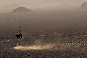 Ostrich (Struthio camelus) male running,  Kaokaland, Namibia.  -  Cyril Ruoso