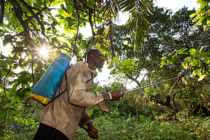 Man spraying cocoa plant with pesticide, Cameroon. February 2015.  -  Cyril Ruoso