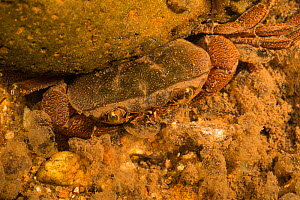 Crab in water eating eggs of Goliath frog (Conraua goliath)  Cameroon.  -  Cyril Ruoso