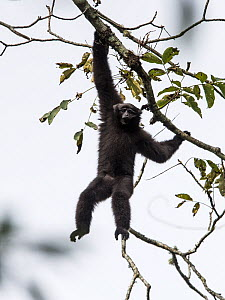 Skywalker hoolock gibbon, (Hoolock tianxing) young male, Xiangbai mountains, Yunnan, China.  -  Roy Mangersnes