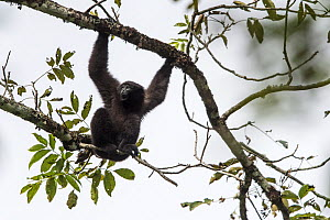 Skywalker hoolock gibbon, (Hoolock tianxing) male,  Xiangbai Mountains, Yunnan, China.  -  Roy Mangersnes
