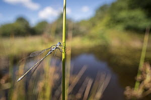 RF - Male emerald damselfly (Lestes sponsa) resting on reed near the water's edge, environmental portrait, Broxwater, Cornwall, UK. August. (This image may be licensed either as rights managed or roya...  -  Ross Hoddinott