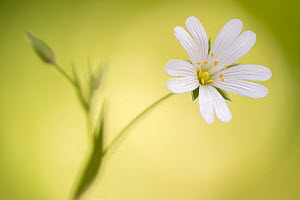 RF - Close up of Greater stitchwort (Stellaria holostea) flower, Cornwall, UK. April. (This image may be licensed either as rights managed or royalty free.)  -  Ross Hoddinott