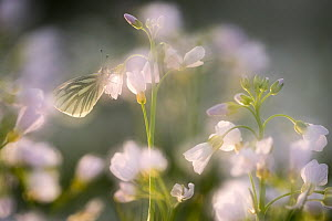 RF - Green-veined white butterfly (Pieris napi) on Ladies smock (Cardamine pratensis), in-camera double exposure to create soft focus effect, Cornwall, UK. May. (This image may be licensed either as r... - Ross Hoddinott