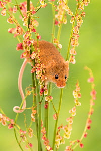 RF - Harvest mouse (Micromys minutus) feeding on common sorrel (Rumex acetosa), Devon, UK (Captive). May. (This image may be licensed either as rights managed or royalty free.) - Ross Hoddinott