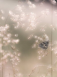 RF - Marbled White butterfly (Melanargia galathea) resting on dew covered grasses, Dunsdon Nature Reserve, Devon, UK. July. (This image may be licensed either as rights managed or royalty free.) - Ross Hoddinott