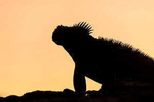 RF - Galapagos Marine Iguana (Amblyrhynchus cristatus), silhouetted at dawn, Fernandina island, Galapagos. April 2014. (This image may be licensed either as rights managed or royalty free.)  -  Ross Hoddinott