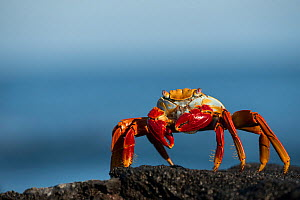 RF - Sally lightfoot crab (Grapsus grapsus) Galapagos, April. (This image may be licensed either as rights managed or royalty free.) - Ross Hoddinott