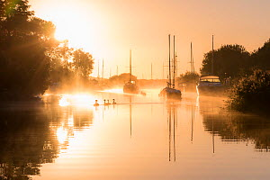 RF - Wareham quay at sunrise, mist and family of mute swans, Dorset, UK. September . (This image may be licensed either as rights managed or royalty free.)  -  Ross Hoddinott