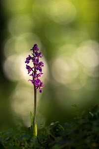 Early purple orchid (Orchis mascula) in flower, Cornwall, England, UK, May.  -  Ross Hoddinott