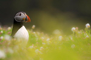 Atlantic puffin (Fratercula arctica) amongst flowering Sea campion (Silene uniflora), Skomer Island, Pembrokeshire, Wales, UK. May.  -  Ross Hoddinott