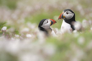 Atlantic puffins (Fratercula arctica) amongst flowering Sea campion (Silene uniflora), Skomer Island, Pembrokeshire, Wales, UK. May.  -  Ross Hoddinott