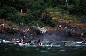 Orca whales (Orcinus orca) swimming close to shore, with kayakers and people watching from the shore,  Washington, USA, Pacific Ocean - Brandon Cole