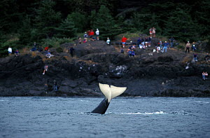 Orca / Killer whale (Orcinus orca) tail slapping with people watching from the shore, Lime Kiln State Park, San Juan Island, Washington,  USA, Pacific Ocean  -  Brandon Cole