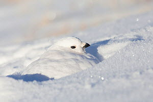 White-tailed ptarmigan (Lagopus leucura) hunkered down, perfectly camouflaged in snow, Jasper National Park, Alberta, Canada, December  -  Connor Stefanison