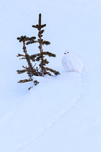 White-tailed ptarmigan (Lagopus leucura) hunkered down next to small tree shoots, perfectly camouflaged in snow, Jasper National Park, Alberta, Canada, December  -  Connor Stefanison