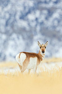 Pronghorn (Antilocapra americana) doe in Yellowstone National Park, Montana, USA, January  -  Connor Stefanison