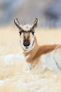 Pronghorn (Antilocapra americana) buck in Yellowstone National Park, Montana, USA, January  -  Connor Stefanison