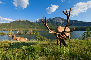 Rocky Mountain elk (Cervus elaphus nelsoni) bulls along Talbot Lake, Jasper National Park, Alberta, Canada, August - Connor Stefanison