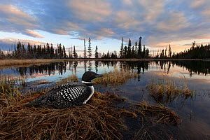 Common loon (Gavia immer) sits on her nest at sunset in the Cariboo region of British Columbia, Canada, taken with remote, May - Connor Stefanison
