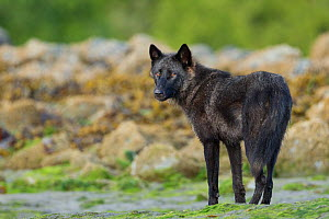 Coastal Grey wolf (Canis lupus) alpha male in the intertidal zone, Vancouver Island, British Columbia, Canada August - Connor Stefanison