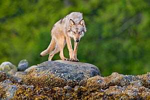 Coastal Grey wolf (Canis lupus) alpha female in the intertidal zone, Vancouver Island, British Columbia, Canada August  -  Connor Stefanison