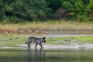 Coastal Grey wolf (Canis lupus) pup in the intertidal zone, Vancouver Island, British Columbia, Canada August  -  Connor Stefanison