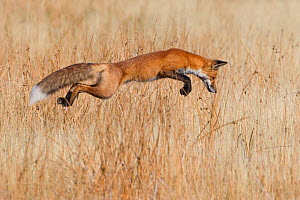 Red fox (Vulpes vulpes) successfully pounces on prey in Yellowstone National Park, Wyoming, USA, September - Connor Stefanison