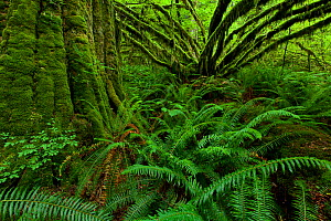 Vine maple (Acer circinatum) and Sword ferns (Polystichum munitum) in a coastal temperate rainforest in Maple Ridge, British Columbia, Canada June - Connor Stefanison