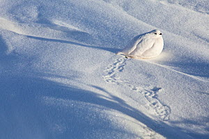 White-tailed ptarmigan (Lagopus leucura) hunkered down in snow, Jasper National Park, Alberta, Canada, December - Connor Stefanison