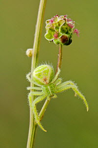 Crab spider (Heriaeus hirtus) resting on Salad burnet (Sanguisorba minor), Provence, France, May. - Lorraine Bennery